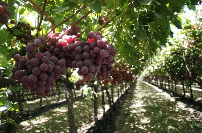 Grapes table producepedia for Table grapes
